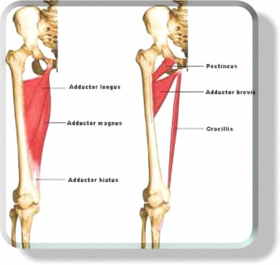 Definition: Adductor Muscles - Gymnastics Zone