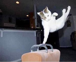 Pommel Cat